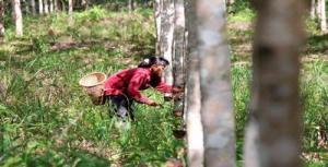 Petani menyadap karet di perkebunan rakyat Desa Maringin Jaya, Kecamatan Parindu, Kabupaten Sanggau, Kalimantan Barat, Jumat (3/5/2013)