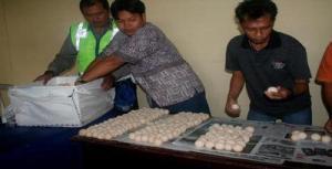 Penyelundupan 1.880 telur penyu di Pelabuhan Semayang, Balikpapan, Kalimantan Timur, berhasil digagalkan