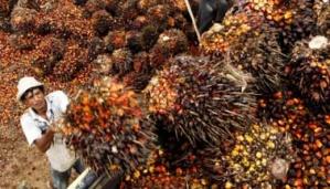 Pekerja menyortir kelapa sawit yang akan dikirim ke pabrik CPO di kawasan PTPN VIII di Cigudeg, Bogor.