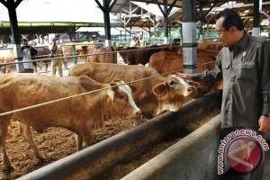 Menteri Pertanian Suswono saat meninjau suatu sentra penggemukan dan pembibitan sapi