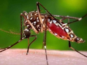 NYAMUK aedes
