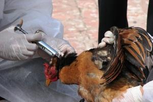 Penyuntikan vaksin anti flu burung (Ilustrasi)