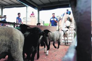 Kesemua kambing Canada (gambar) dan kambing Australia yang diimport Singapura bagi ibadah korban tahun ini telah selamat tiba hujung minggu lalu.