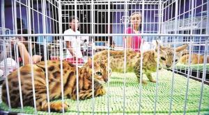 Antara kucing yang dipamerkan di Pusat Belia Bandar Seri Begawan.