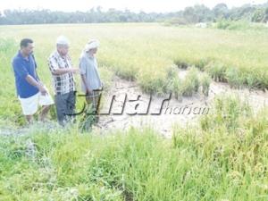 Petani menunjukkan tanah sawah yang mulai merekah